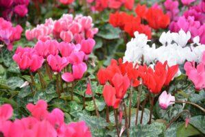 Ciclamini: Un tocco di Colore anche in Inverno!!!