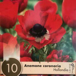 Anemone Coronaria Hollandia Bulbo da Fiore