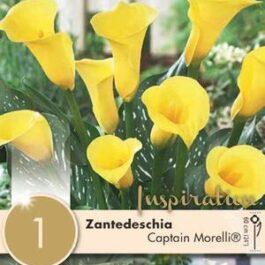 Zantedeschia Captain Morelli Bulbo da Fiore