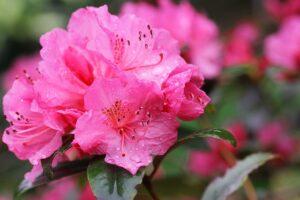 Azalea, la bellezza di ieri, oggi e domani