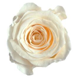 Rosa Stabilizzata Crema cm 2,5 Confezione 16 pz
