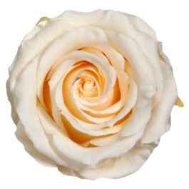 Rosa Stabilizzata Champagne h 5,5 cm Confezione 6 pezzi