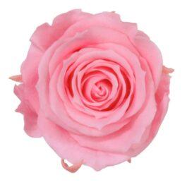 Rosa Stabilizzata Rosa h 5,5 cm Confezione 6 pezzi