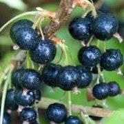 Ribes Nigrum  Ben Nevis v.15
