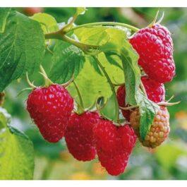 Rubus Ideaus Zefa Herbesternte ( lampone rosso ) v.15