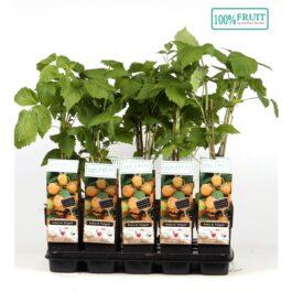 Rubus Idaeus Fallgold ( lampone giallo ) v.15