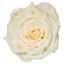 Rosa Stabilizzata PREMIUM Champagne Diam. 8 cm  Confezione 4 pz (Copia)
